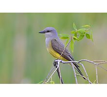 Western Kingbird Photographic Print
