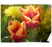 Tulips, Spring Has Sprung Poster