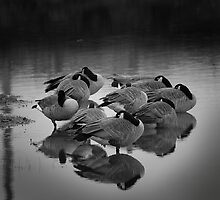 Sleeping Geese by Lee LaFontaine