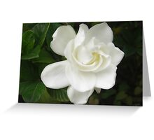Beautiful Gardenia 4 Greeting Card