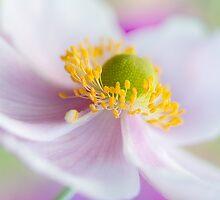 Anemone by Mandy Disher