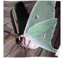 Resting moth Poster
