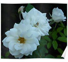 The White Roses of Cap Ferrat Poster