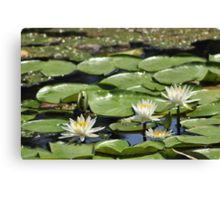 Lotus (aka Asian Water Lilly) Canvas Print