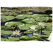 Lotus (aka Asian Water Lilly) Poster