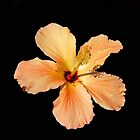 Hibiscus on Black. by Lee d'Entremont