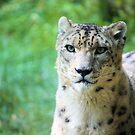 Snow Leopard by Carrie Bonham