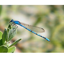 Lonely Dragonfly Photographic Print