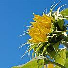Sunny by Linda Bianic