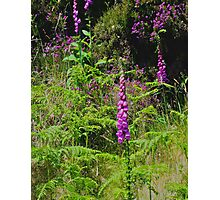 Irish Flowers - Purple Foxgloves Photographic Print