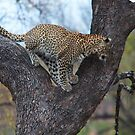 Leopard, Kruger National Park, South Africa by Roger Barnes