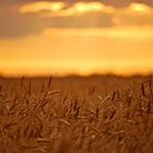 Golden Fields by Roxanne Persson