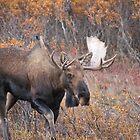 Bull Moose in Denali National Park by Clemsonpilot