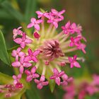 Pimelea rosea by kalaryder