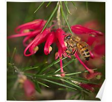 Grevillia Flower and Bee Poster