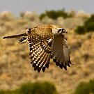 Falcon on the hunt by Steve Bass
