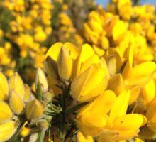 Gorse flowers (Ulex europaeus) Sticker
