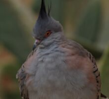 Crested Pigeon Sticker
