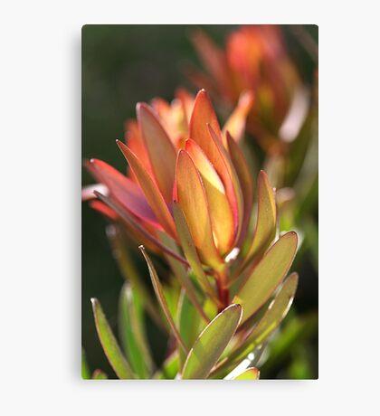 flowers-protea Canvas Print