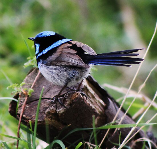 Superb Fairy Wren by Rookwood Studio ©