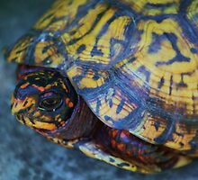 Box Turtle 2 by Linda Costello Hinchey