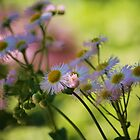 Wild Aster?? by Linda Costello Hinchey