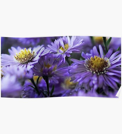 -New England Fall Asters Poster