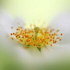 Wild rose by cards4U