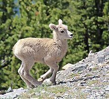 Juvenile Mountain Sheep by hummingbirds