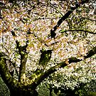 Blossom tree in spring by Paul Richards
