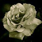 Sepia Tone Rose by Jennifer P. Zduniak