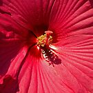 Red Hibiscus. by Lee d'Entremont