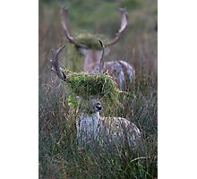 Rutting Fallow Stags Photographic Print