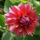 Glowing Dahlia. by Lee d'Entremont