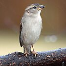 Wet Sparrow by Bine