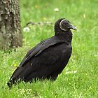 Black Vulture by Bine