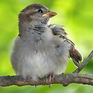 Sparrow Fledgling by Bine