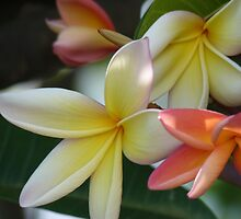 """Jasmine""  The Flower of the Plumeria Ruba by Anita  Fletcher"