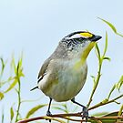 Striated Pardalote by Lance Leopold