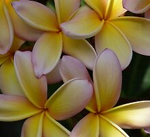 """Jasmine Cluster""  The Flower of the Plumeria Ruba by Anita  Fletcher"
