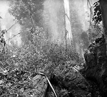 Eucalypti of Mount Sutro by Rodney Johnson