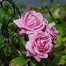 Autumn Roses by Barry Doherty