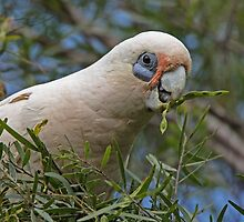 Little Corella by JayWolfImages