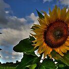 Sunflower Fields Forever by Matt Erickson