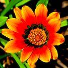 Orange Splendor by Nicki Baker