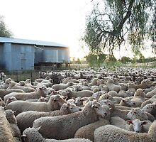 Preparing for Shearing - Western NSW by wye72