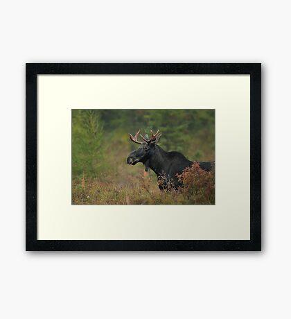 Bull Moose In Marsh Framed Print