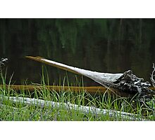 Deadwood and Pine Reflections  Photographic Print