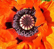 Blaze Poppy by Shoshonan