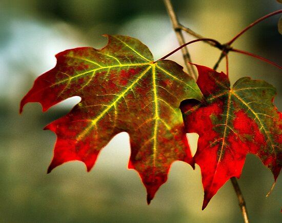 Feeling of Autumn - Maple leaves  by LudaNayvelt